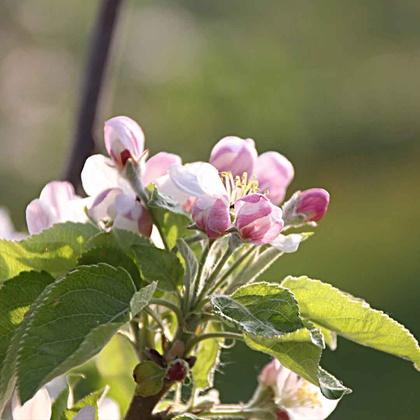 Blüten 'Sonnenglanz®'