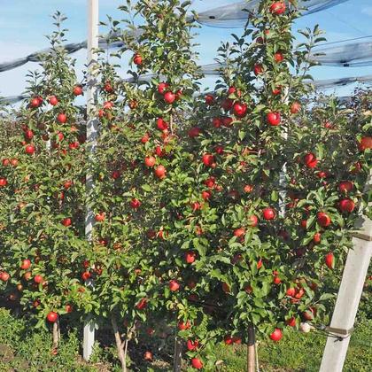 'Rubinella®' - Fruchtbehang am Baum