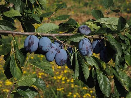 Frucht 'Franzi®': Sehr gute Steinablösbarkeit