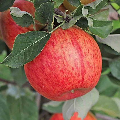 'Freiherr von Hallberg®' Frucht am Baum