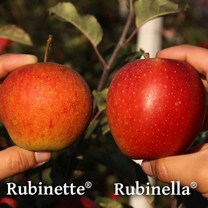 Vergleich von Früchten der Sorten 'Rubinette®' (links) und 'Rubinella®' (rechts)