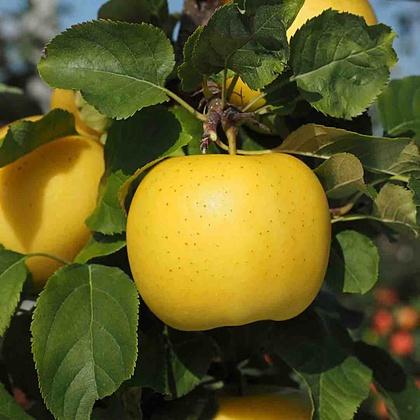 'Sonnenglanz®': allergikerfreundlicher Apfel