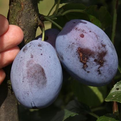 Früchte von 'Franzi®', der Qualitätszwetschge