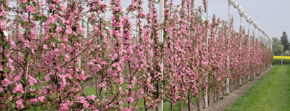 Obstanlage rotfleischige Äpfel in Blüte