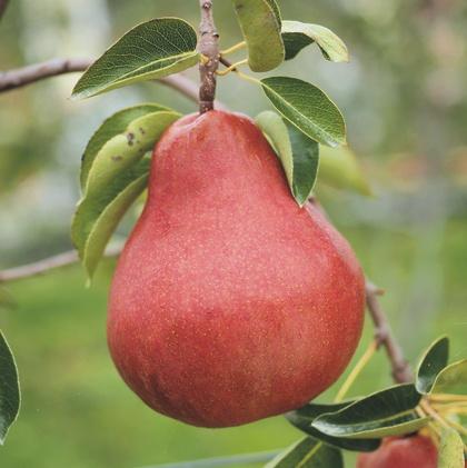 Birne 'Alessia®': attraktiv mit flächig roter Fruchtschale
