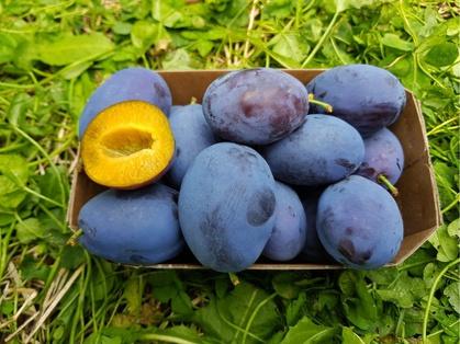 Gourmetzwetsche 'Moni®', Früchte in der Schale